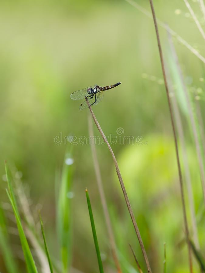 An dragonfly perched on the grass stock images