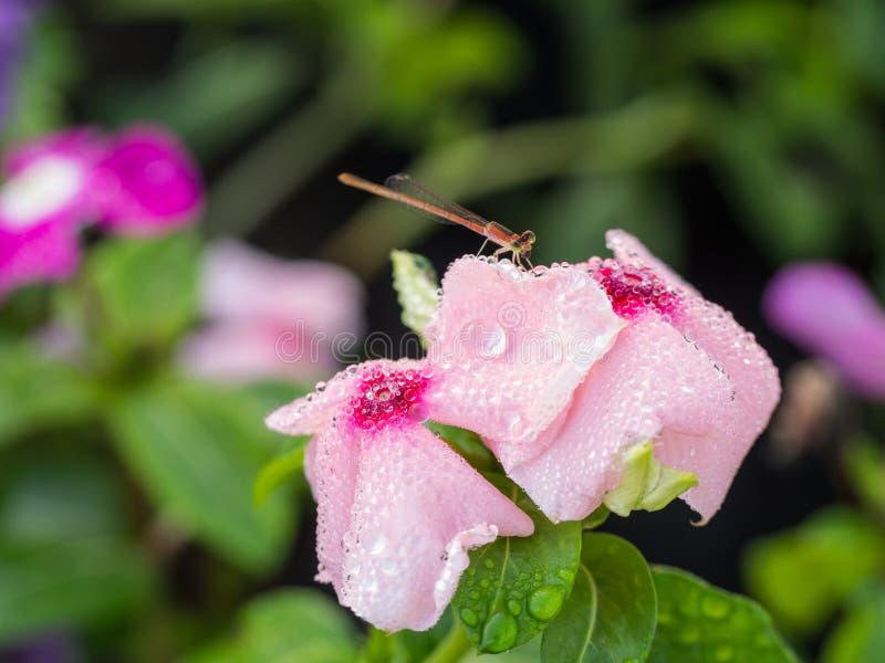 Dragonfly pił wodę od Podeszczowych kropel zdjęcia stock