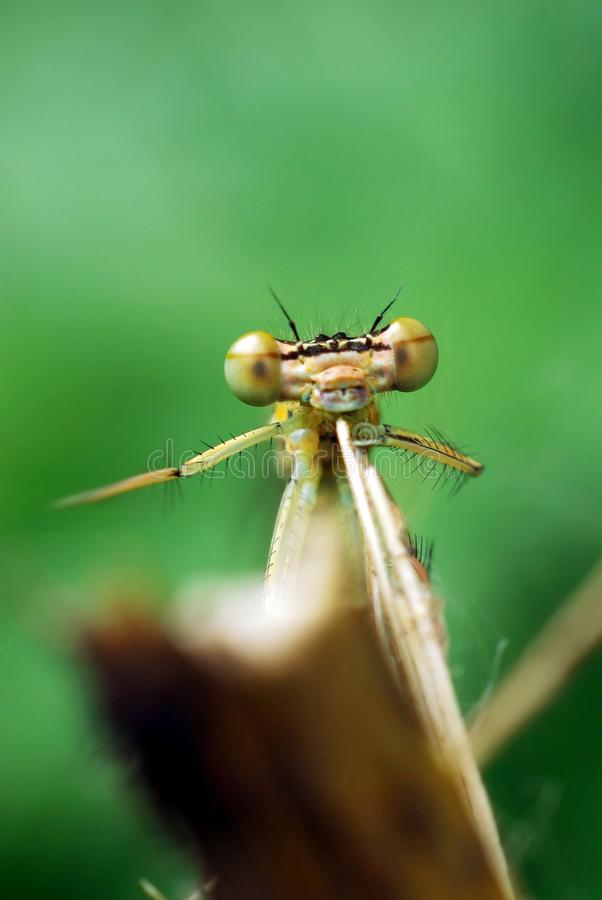 dragonfly piosenkarz fotografia royalty free