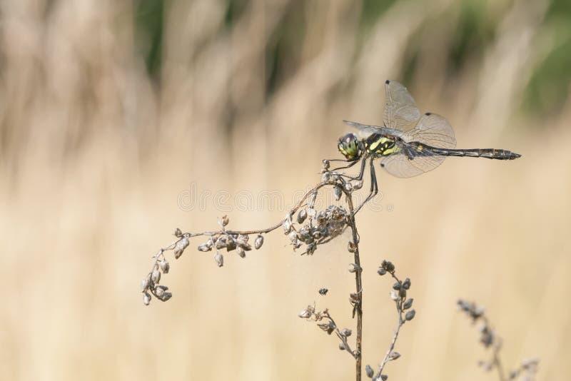 Dragonfly on a plant stock photos