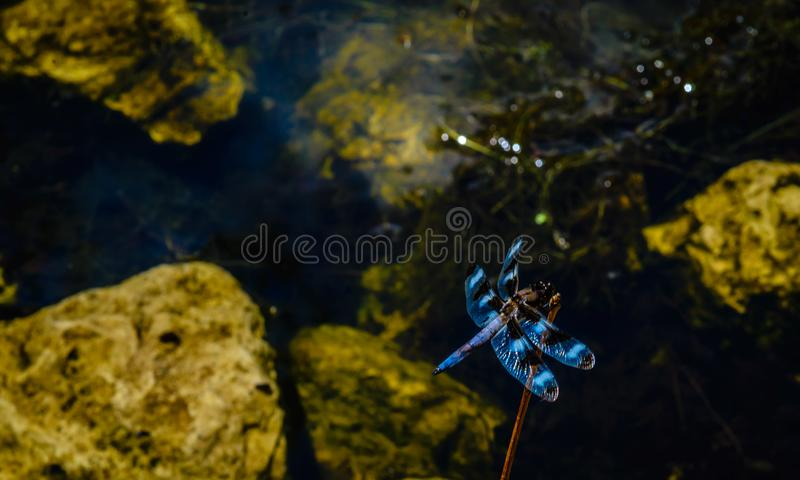 Dragonfly on plant stalk in pond setting. royalty free stock images