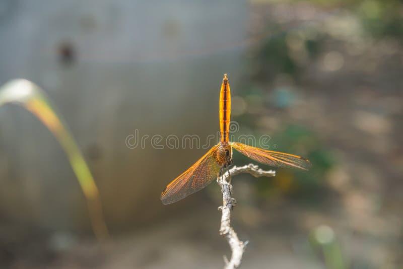 Dragonfly pobyt na kiju obraz royalty free