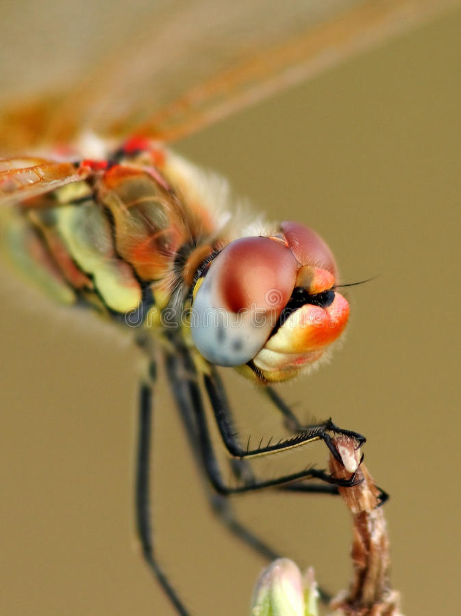 Free Dragonfly Portrait Royalty Free Stock Photo - 11042115
