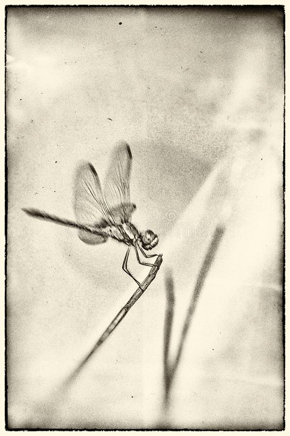 Dragonfly posed for a broom stalk on textured background. In summer the dragonflies are often on the lookout on the top of the plants, ready to catch the insects stock photo