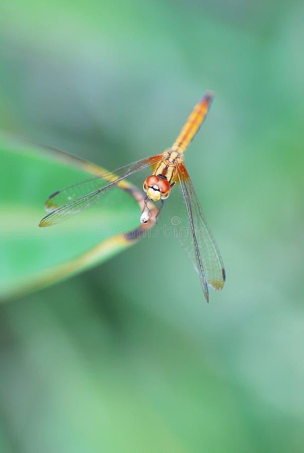 dragonfly potrait obraz royalty free