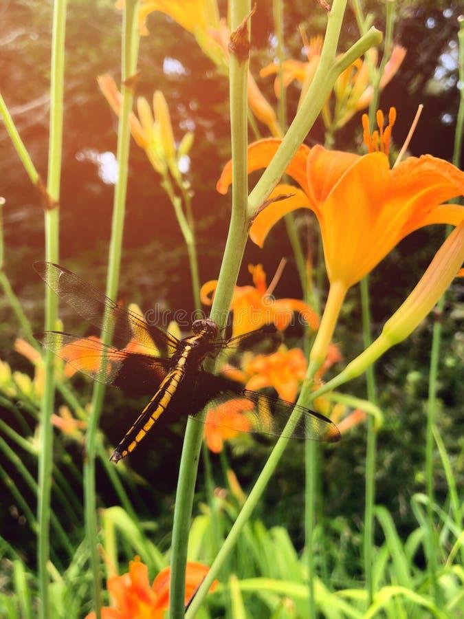 Dragonfly pozycja na Hemerocallis kwiacie obrazy stock