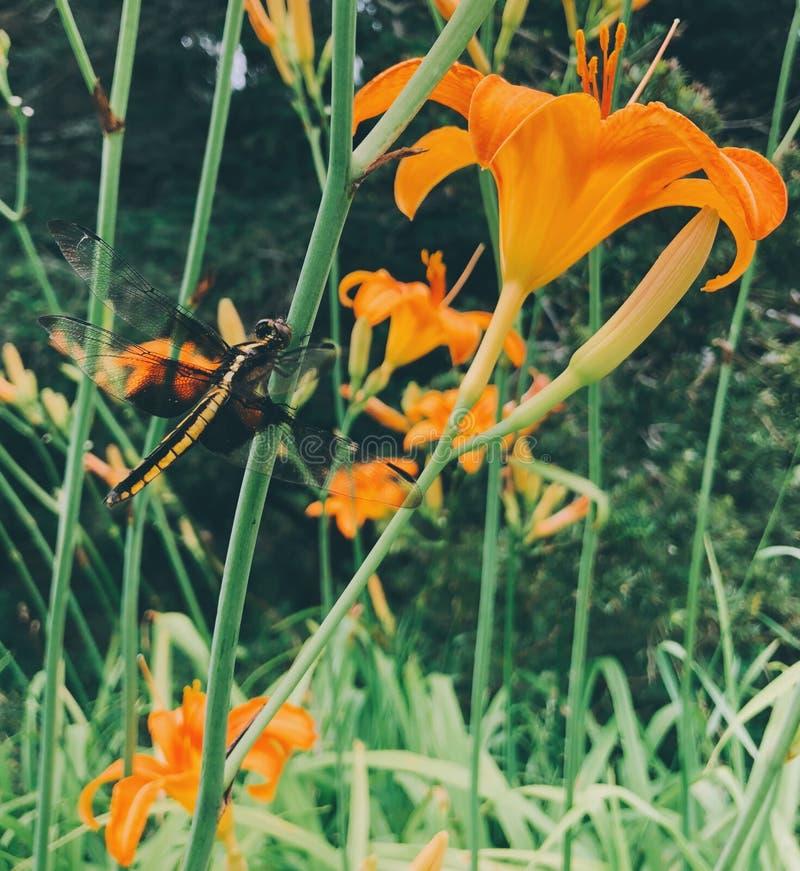Dragonfly pozycja na Hemerocallis kwiacie zdjęcie royalty free