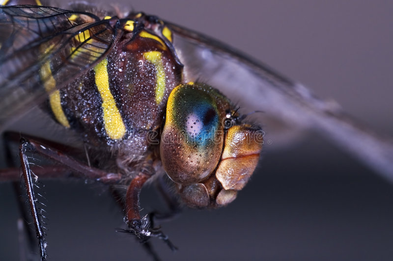 Dragonfly Profile royalty free stock photo