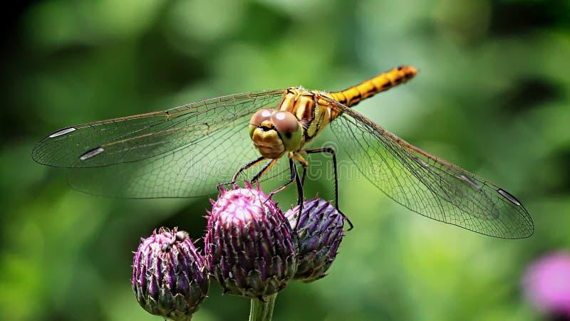 Dragonfly On Purple Flower Free Public Domain Cc0 Image