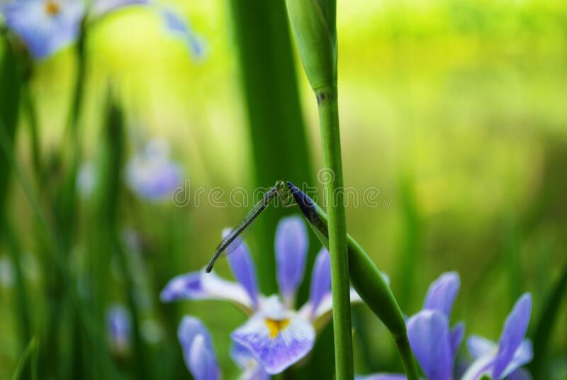 Dragonfly on a purple and yellow iris flower and bud in my garden. Dragonfly on a purple and yellow iris flower and bud in a garden royalty free stock images