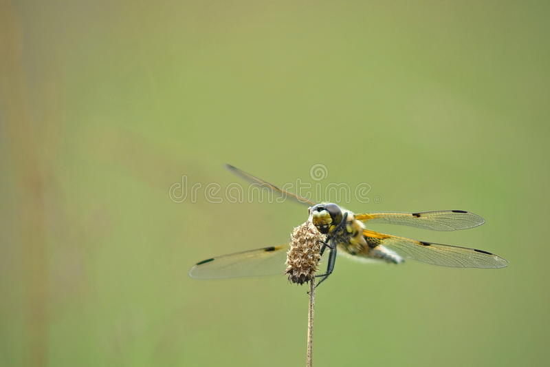 Dragonfly quadrimaculata Libellula стоковое фото