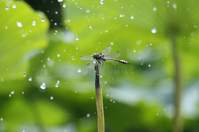 The dragonfly in the rain royalty free stock images