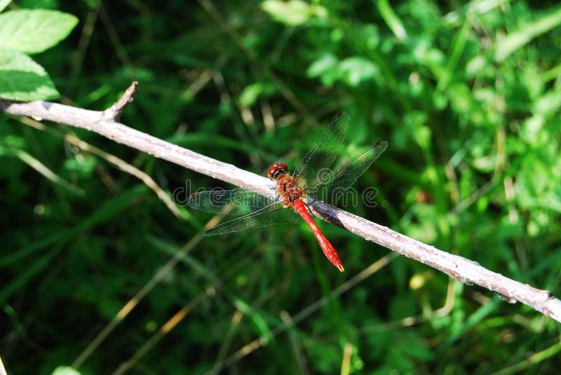 Dragonfly_red foto de stock royalty free