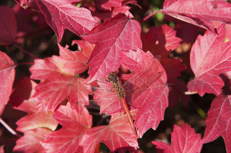 Dragonfly on red autumn leaves closeup royalty free stock photography