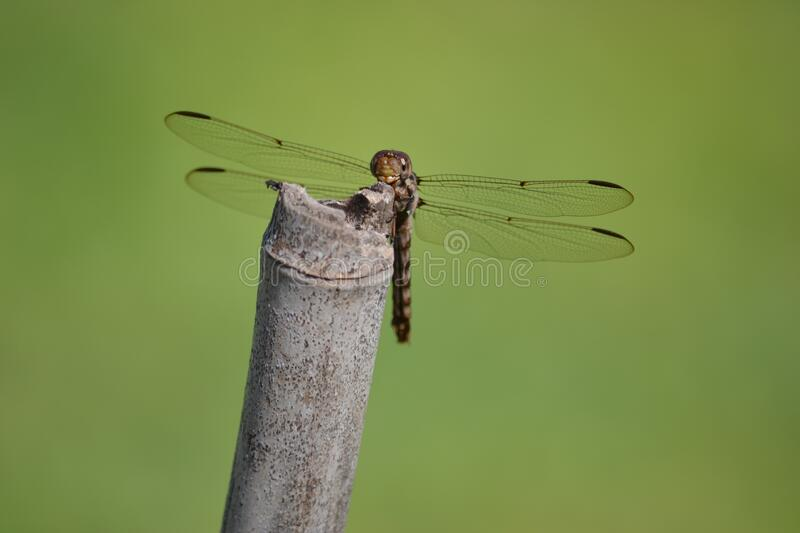 Dragonfly on reed royalty free stock photography