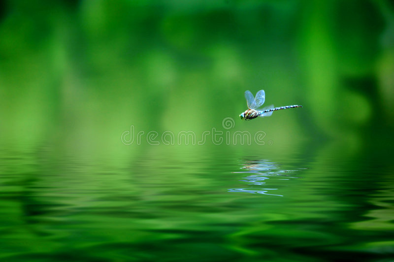 Dragonfly Reflection. Reflection of dragonfly hovering over lake water royalty free stock image