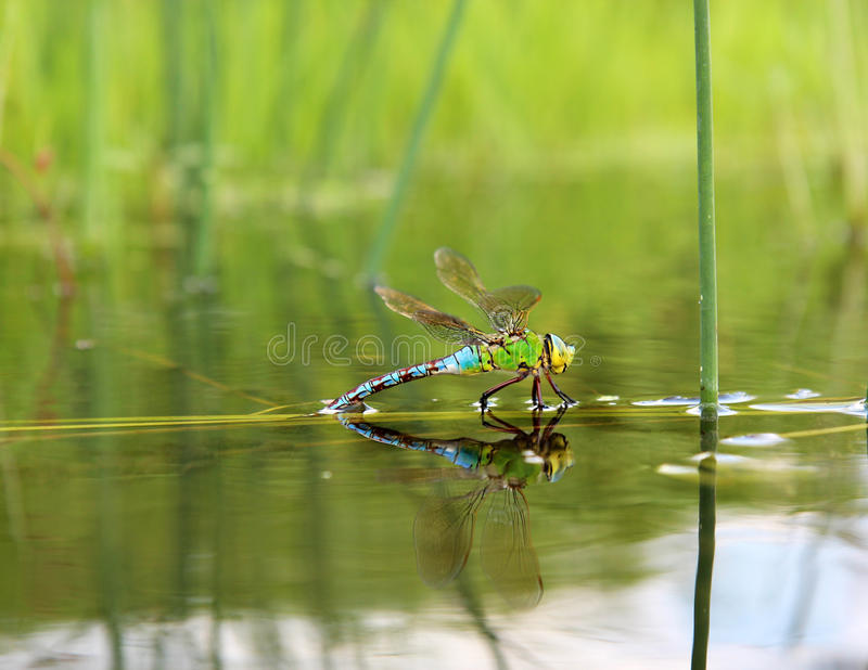 Dragonfly with reflection in the water royalty free stock images