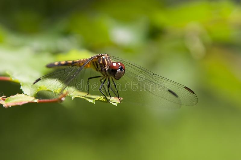 Download Dragonfly at Rest stock image. Image of wings, leaves - 5301595