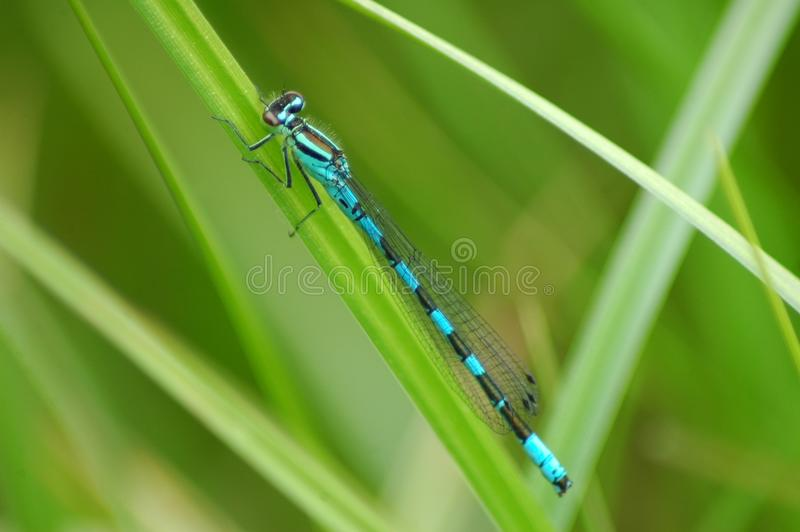 Dragonfly on rest royalty free stock photo
