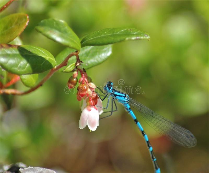 Dragonfly on rest stock photography