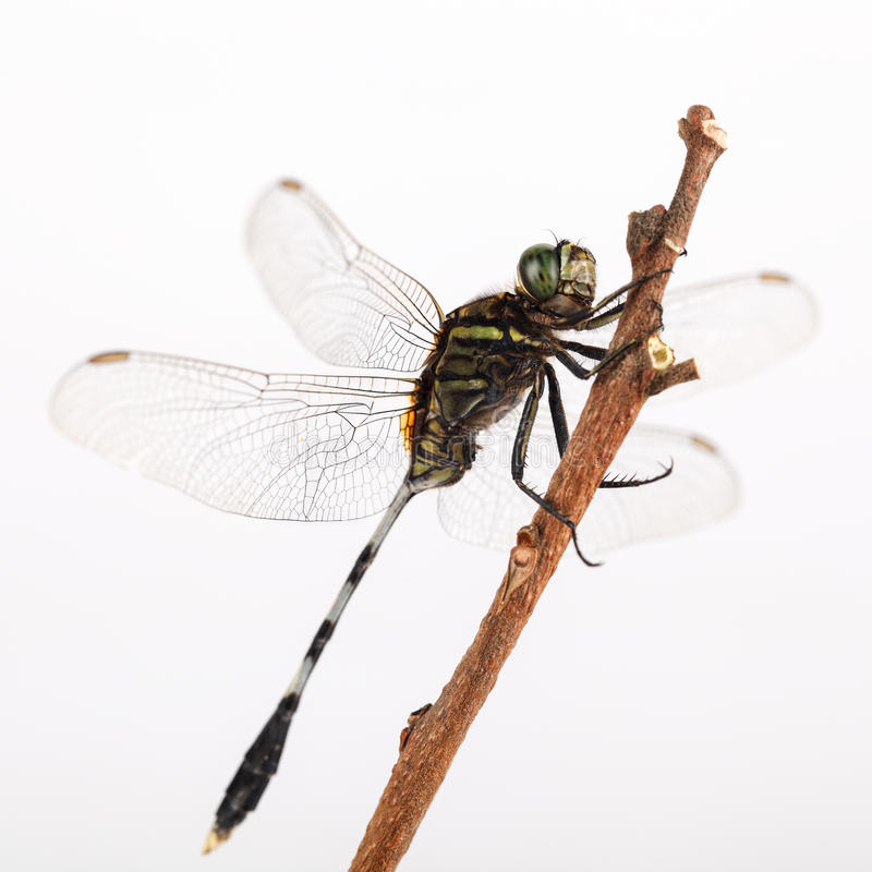 Free Dragonfly Resting Royalty Free Stock Photos - 27396478