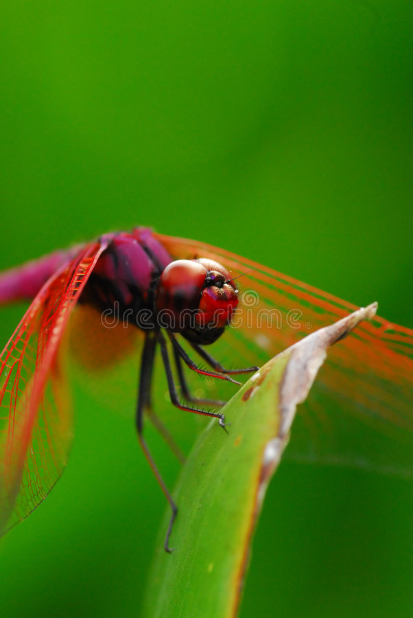 Free Dragonfly Resting Royalty Free Stock Photo - 5833865