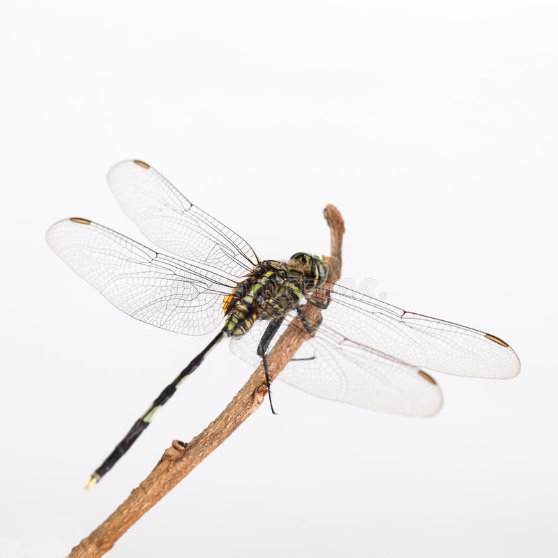Free Dragonfly Resting In The Branch Stock Photography - 27396472