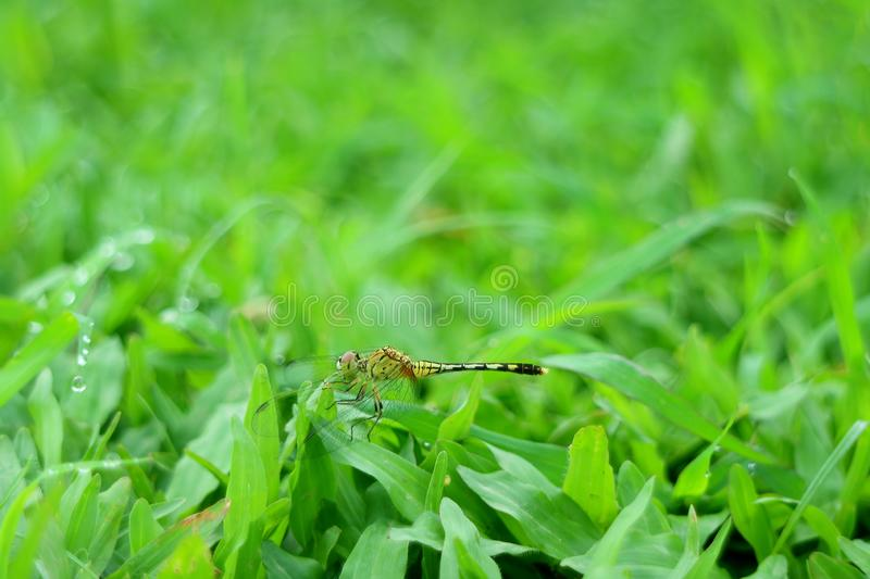 Dragonfly resting on the vibrant green grass field with copy space. Beauty in nature stock photos