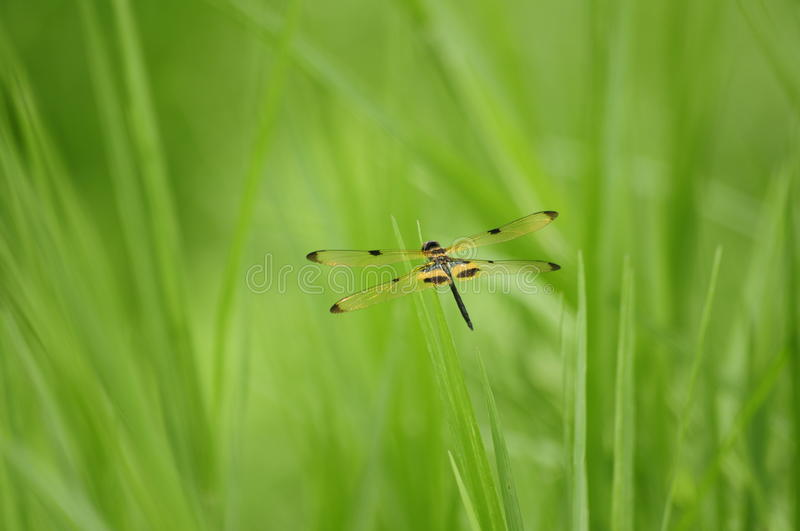 Dragonfly (Rhyothemis phyllis )in nature stock photo