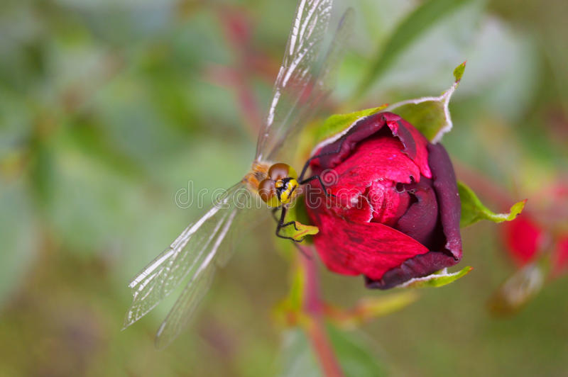 Dragonfly on rose stock photos