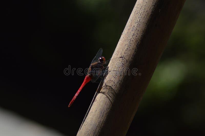 Dragonfly - rouge sur fond noir images stock