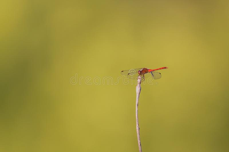 A ruby meadowlark dragonfly perched on a stick stock photography
