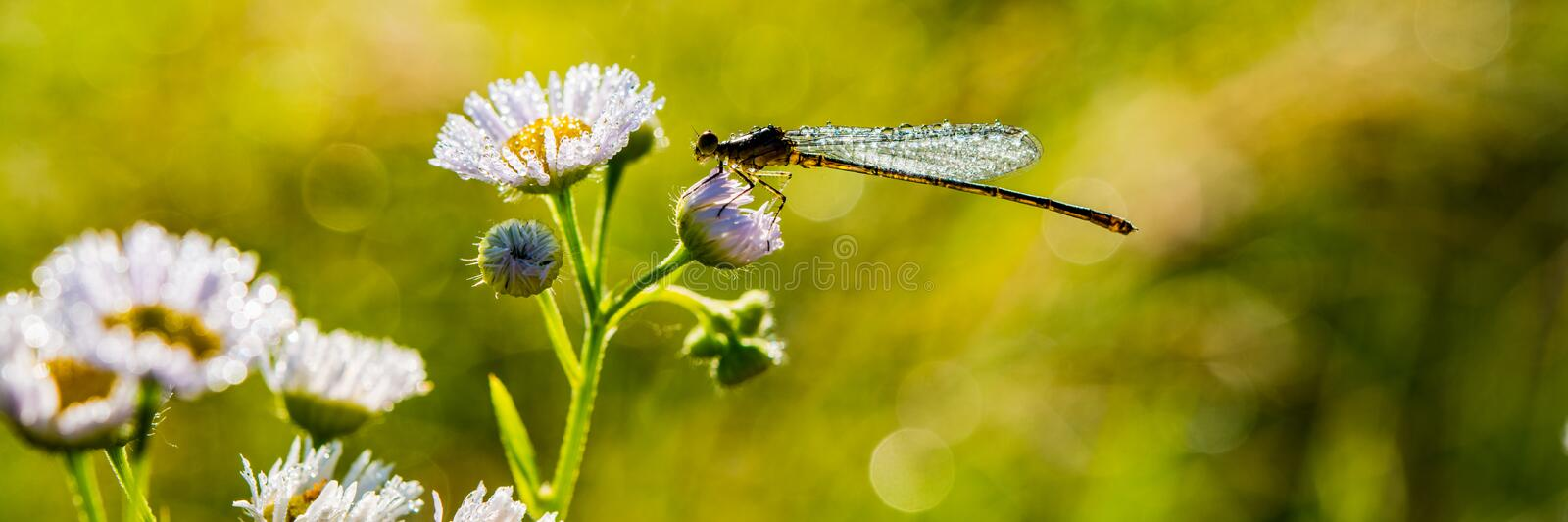 Dragonfly sits on a flower covered with drops of dew in a meadow. Banner for design royalty free stock photography