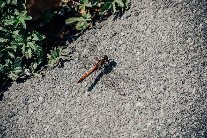 Dragonfly sits on the road on top s close, soft focus. Dragonfly sits on the asphalt on top is close , soft focus, road, animal, insect, closeup, green, nature royalty free stock photo