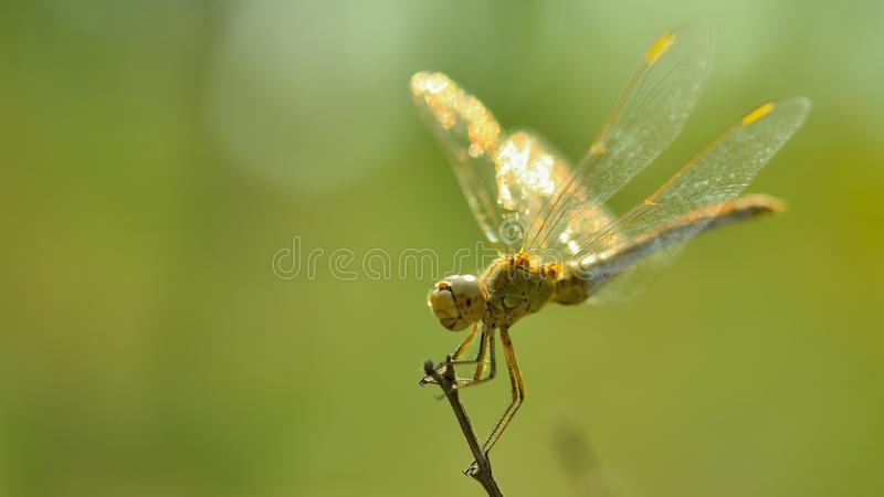 Download Dragonfly stock image. Image of laterally, lights, green - 40051935