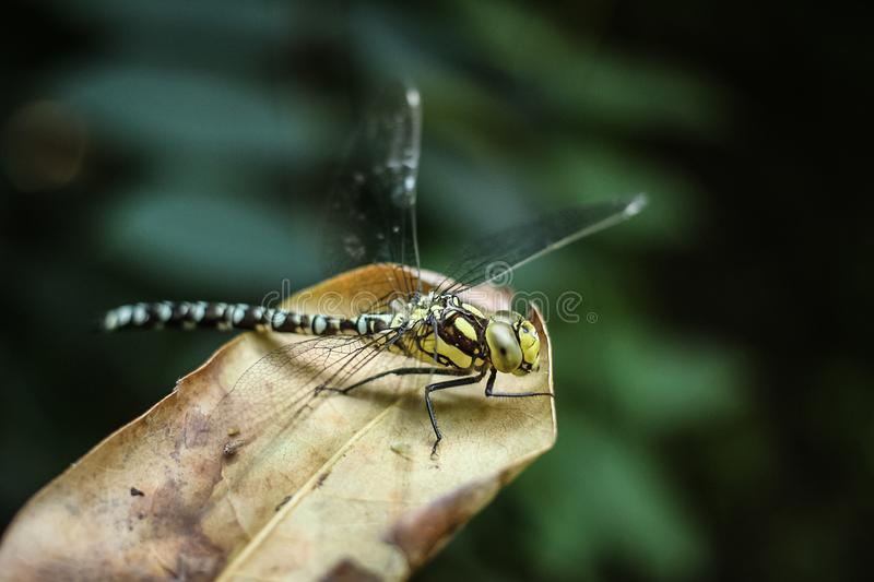 Dragonfly sitting on dry leave stock images