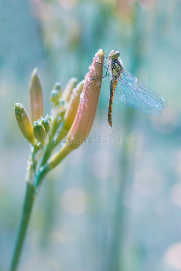 Dragonfly sitting on flower bud royalty free stock photos