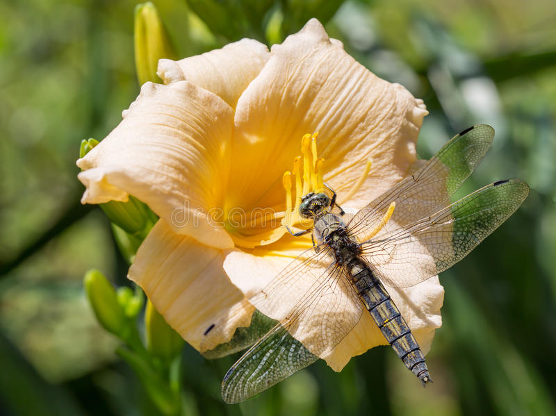 Dragonfly sitting on a flower royalty free stock image