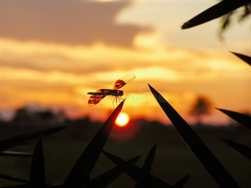 Dragonfly sitting in the foreground, sunset in the background stock photography