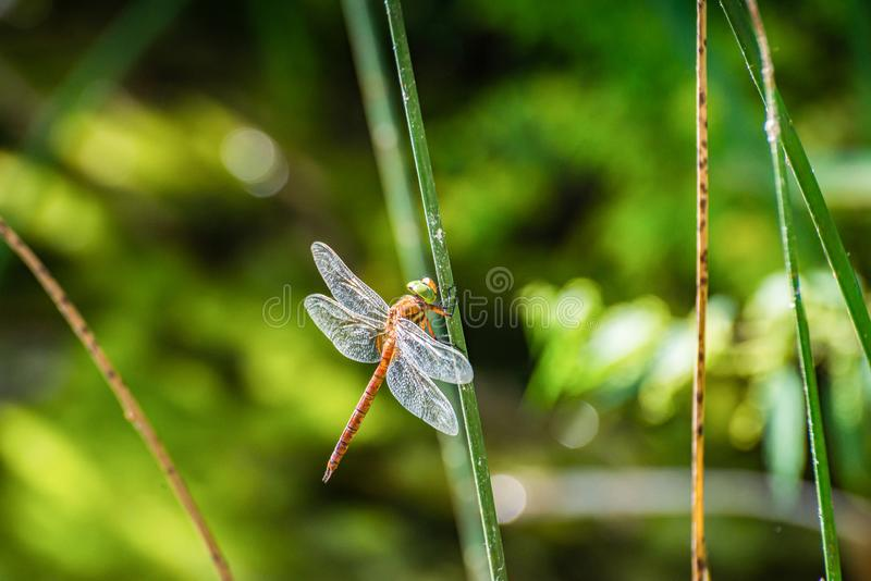 Dragonfly sitting on the grass on Plivsko Lake in Bosnia and Herzegovina.  royalty free stock photo