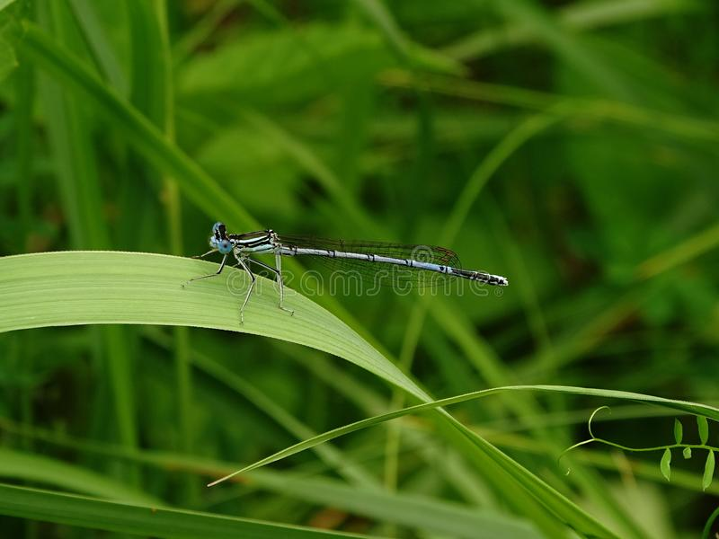 A dragonfly on a green blade of grass. Coenagrionidae. Dragonfly sitting on a green grass. Windless weather. Blurred background. Coenagrionidae royalty free stock photo
