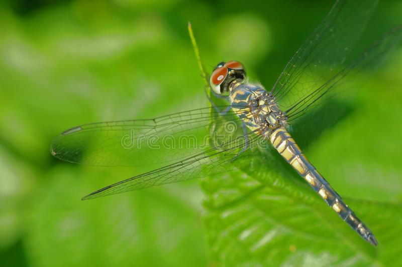 Dragonfly sitting on the leaf of wild plants, natural, nature, macro photographs royalty free stock photo