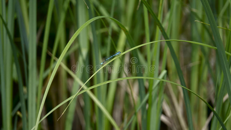 Dragonfly sitting on a leave royalty free stock photography