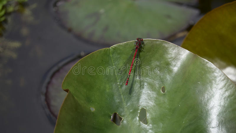 Dragonfly sitting on a leave stock images
