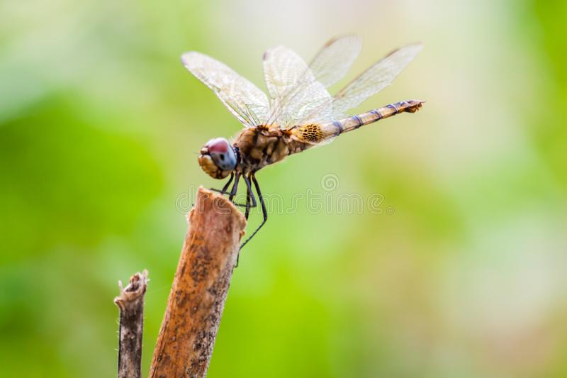 Dragonfly sitting on a stick. In nature with out of focus background stock images