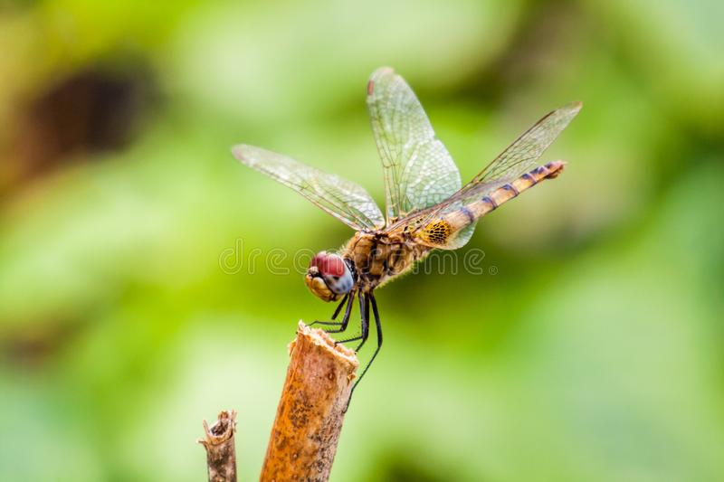 Dragonfly sitting on a stick. In nature with out of focus natural background stock photos