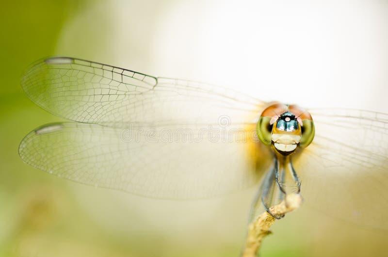 Dragonfly. Stock Photo