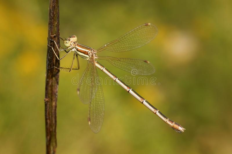 Dragonfly, Southern Emerald Damselfly Lestes barbarus stock image