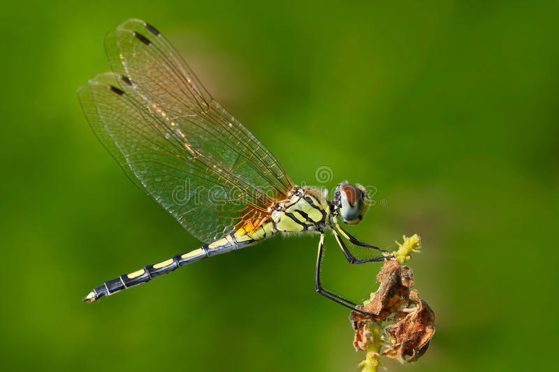 Dragonfly from Sri Lanka. Dancing dropwing, Trithemis pallidinervis, sitting on the green leaves. Beautiful dragon fly in the royalty free stock image