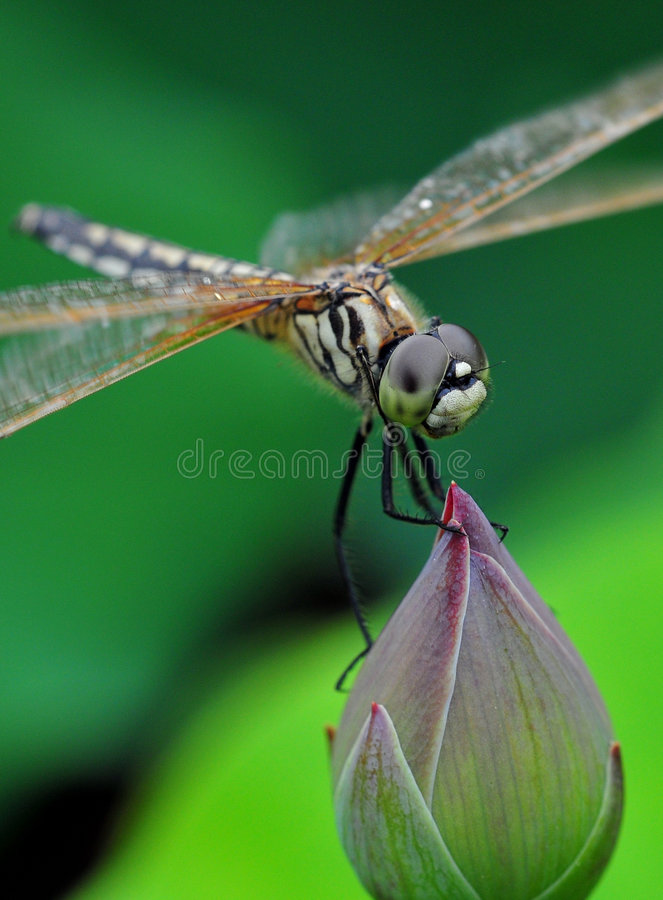 Dragonfly stand in bud. Dragonfly stand in lotus bud stock photo